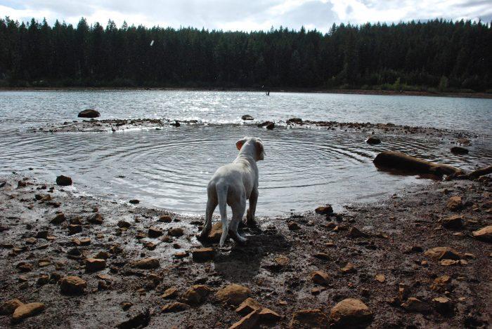 dogo argentino en el borde de un lago