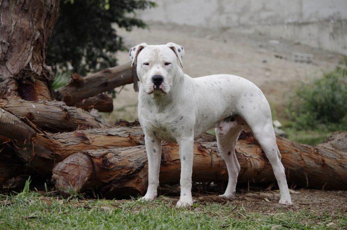 dogo argentino esperando frente a unos troncos