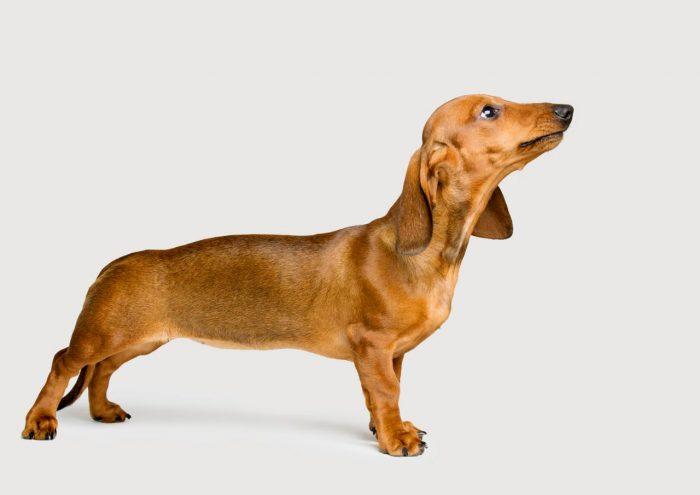retrato de un teckel marrón sobre fondo claro