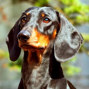 Todo sobre el perro Teckel ( Salchicha, Dachshund): Tipos, fotos, precios, características, cachorros y mucho más
