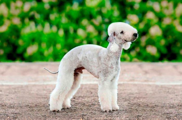 bedlington terrier parado sobre gravilla