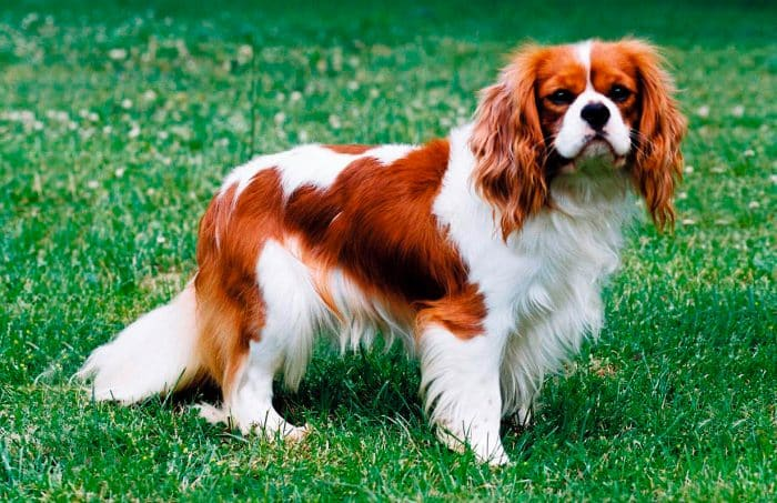 King charles spaniel vista lateral sobre césped