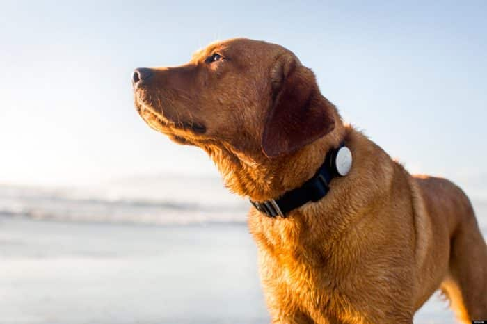 perro modelando un collar con gps