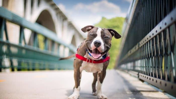 retrato de un perro con arnés en un puente