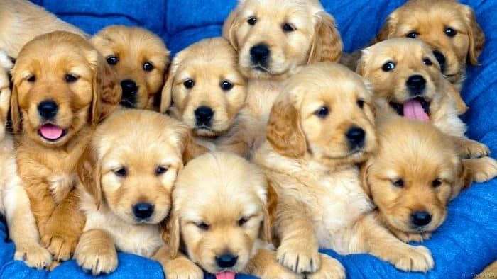 selección y mestizaje de perros de raza