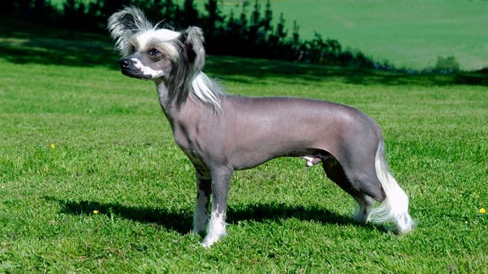 vista lateral de un perro crestado chino