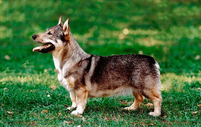 perro de los visigodos vista lateral sobre césped