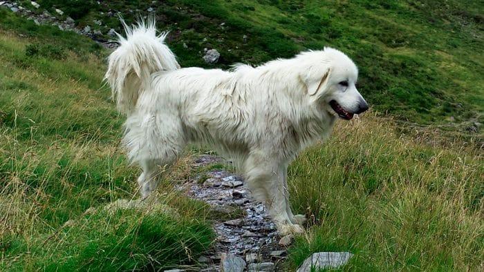 perro pastor de los pirineos cruzando un pequeño arroyo