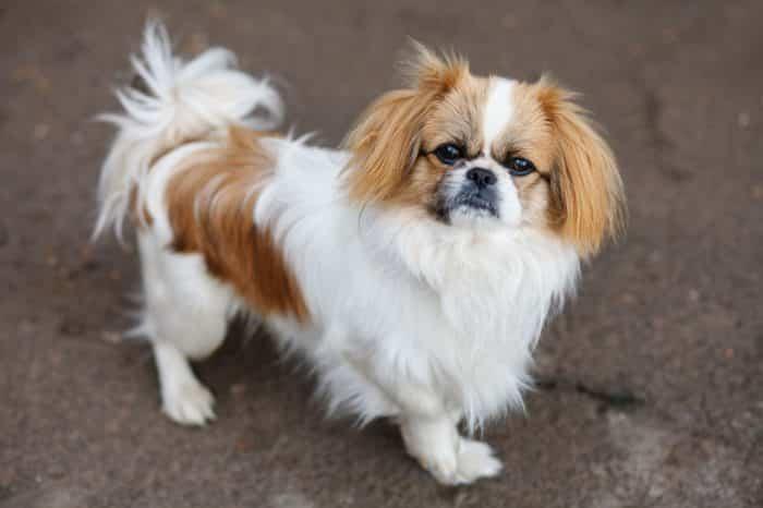 perro pekines vista lateral superior