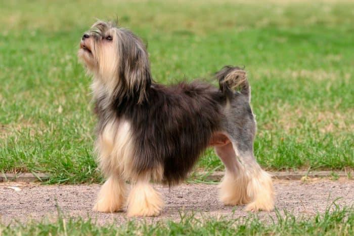 petit chien lion vista lateral