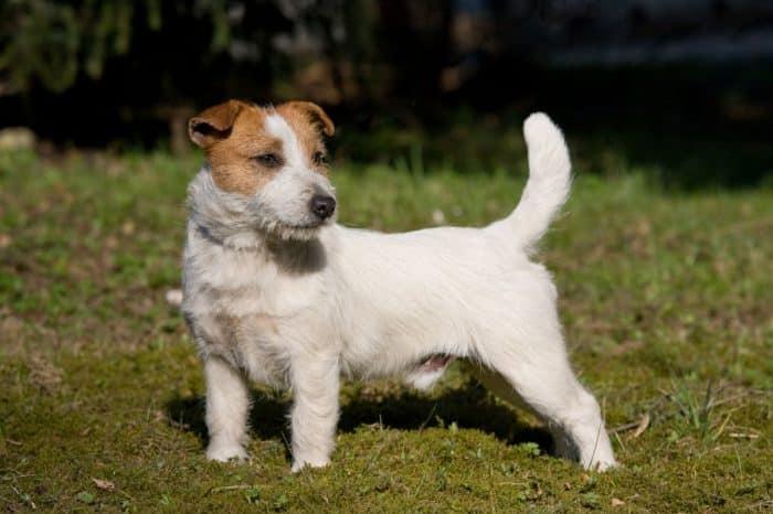 vista lateral de un parson jack russell terrier