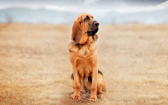 bloodhound sentado en una pradera