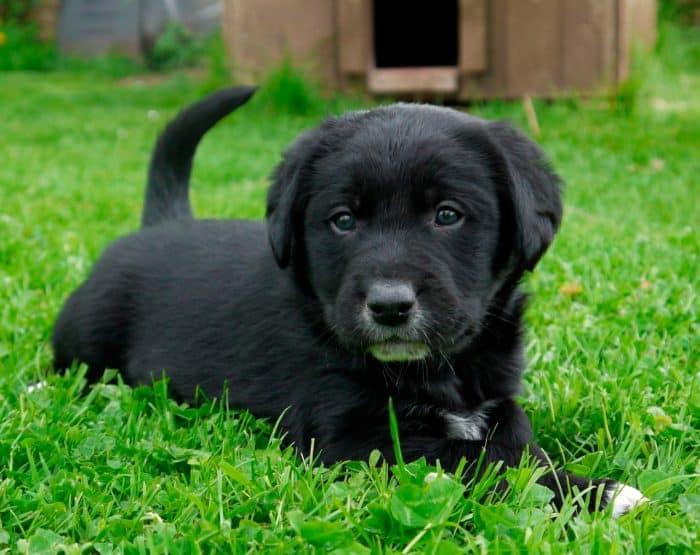 borador cachorro sobre césped