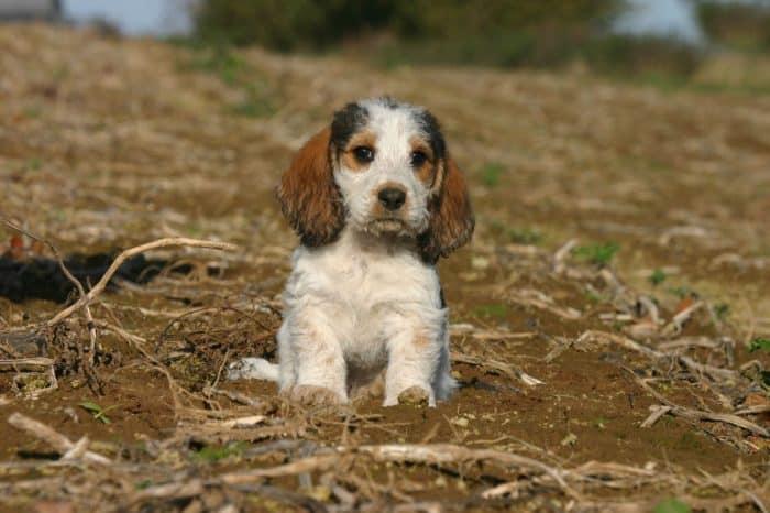 cachorro basset grifon vendeano descansando en un patio