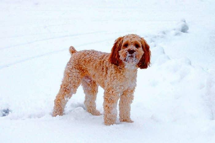 cockapoo jugando en la nieve
