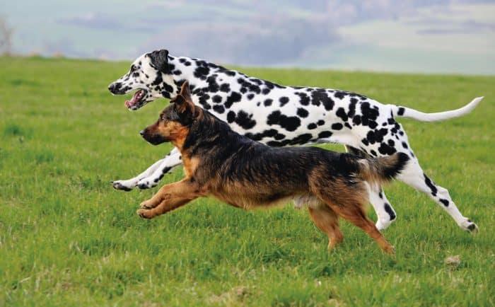 como distinguir razas de perros