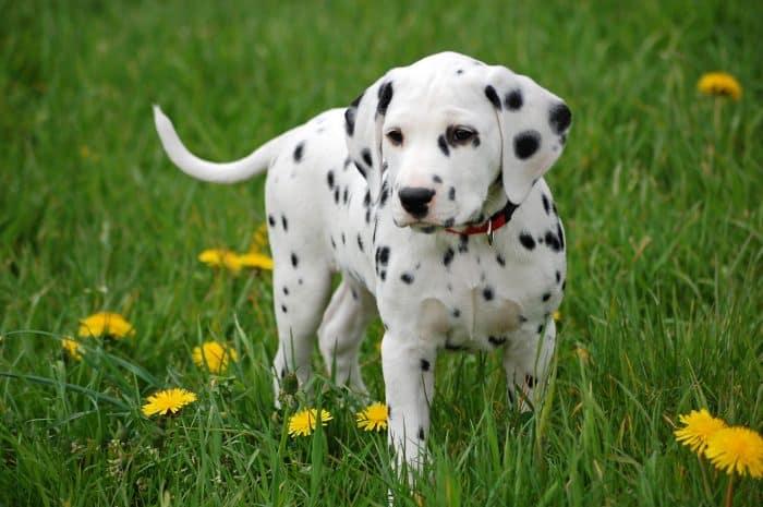 dalmata cachorro vista frontal en una pradera florida
