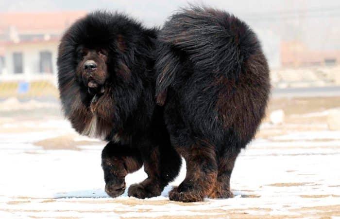 dogo del tibet de paseo en la nieve