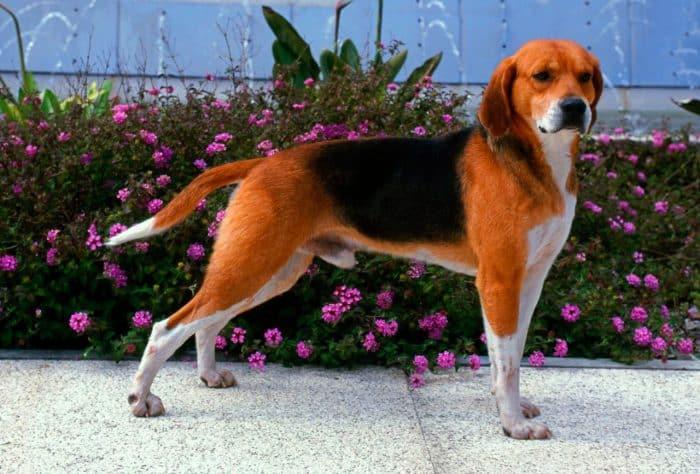 harrier perro vista lateral sobre calzada delante de un jardín urbano