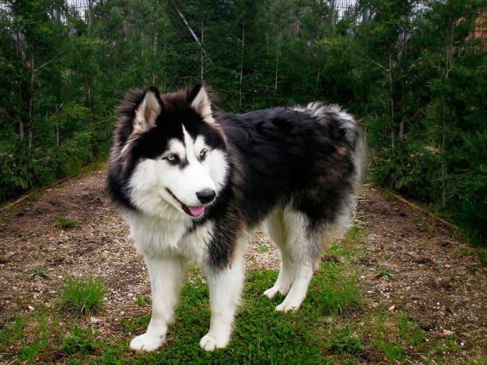husky americano de paseo en el bosque