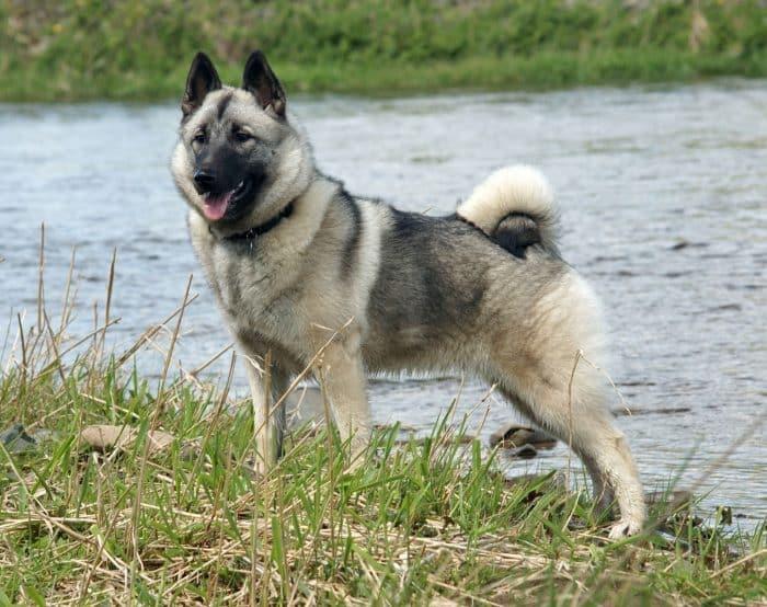 perro cazador de alces noruego al borde de una laguna