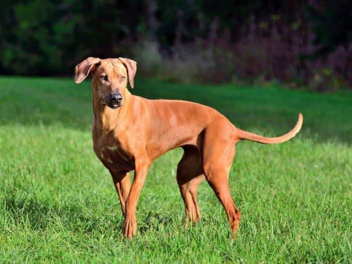 perro crestado rodesiano vista lateral al atardecer en un parque