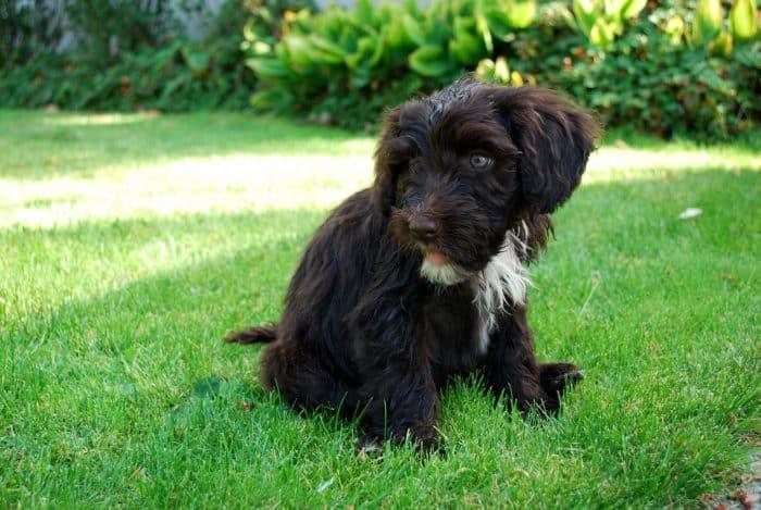 perro de agua portugués descansando sobre césped