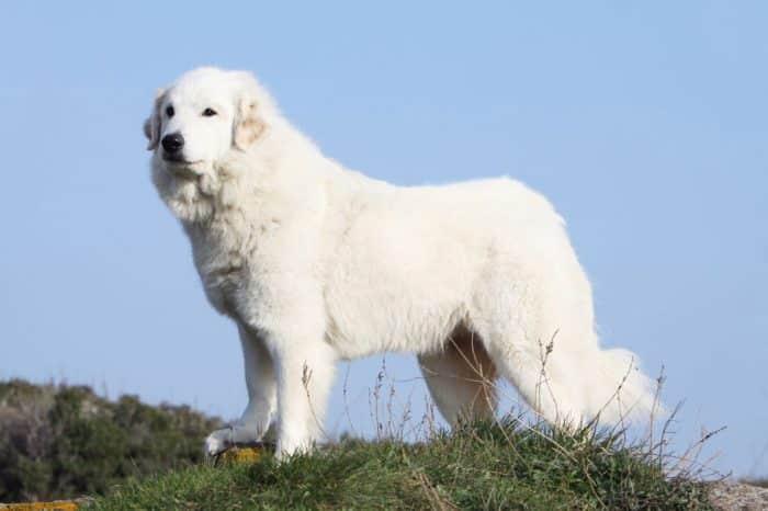 perro de montaña de los pirineos observando sobre una loma