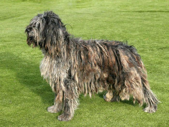 perro de pastor de bergamasco vista lateral sobre césped