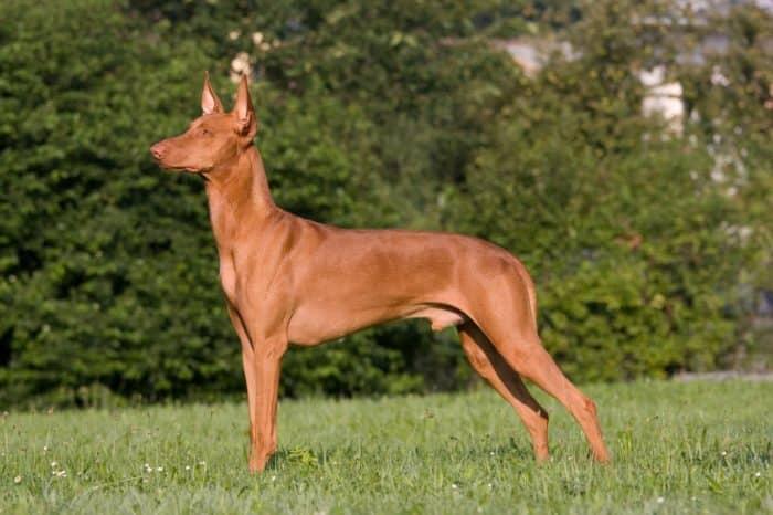 perro del faraón parado observando algo en un parque vista lateral