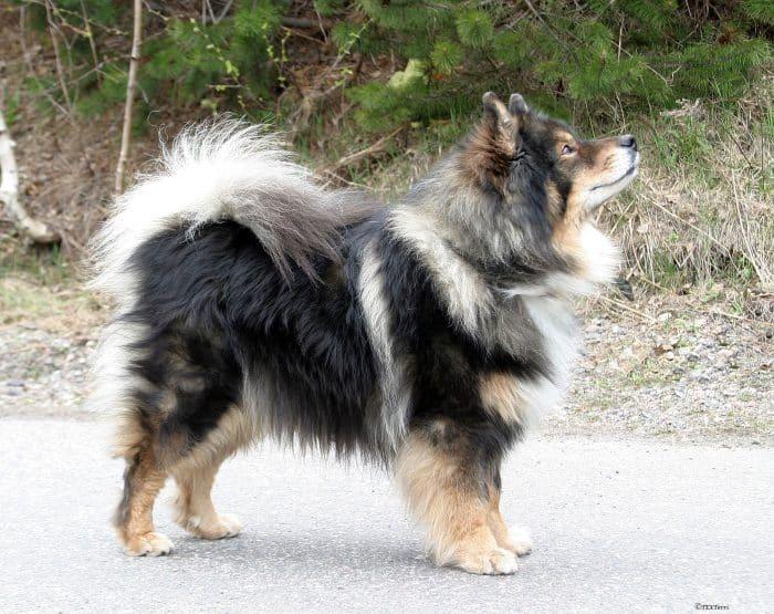 perro finlandes de laponia