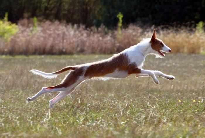 podenco ibicenco corriendo en una pradera