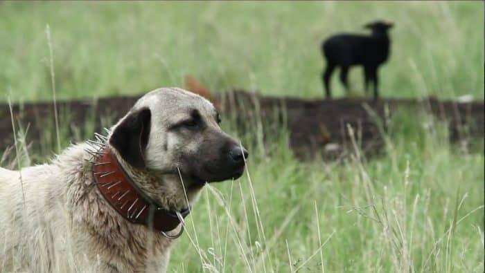 razas de perros guardianes