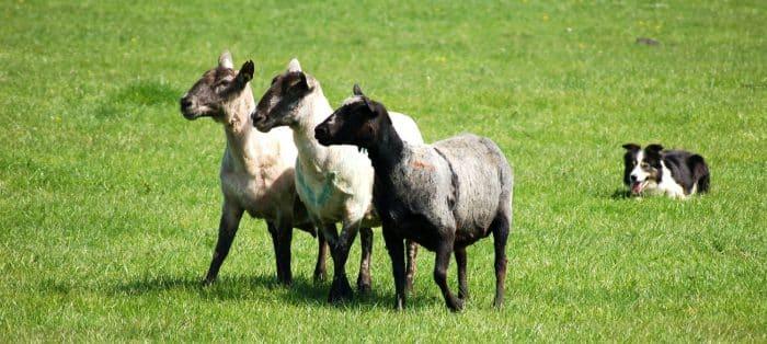 razas de perros ovejeros