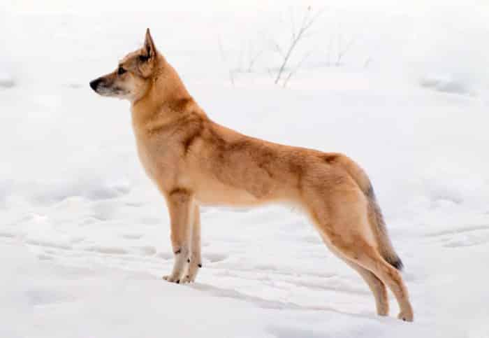 spitz finlandés vista lateral sobre nieve