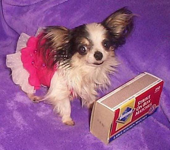 boo boo uno de los perros más pequeños del mundo