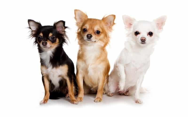 3 perros chihuahuas en fondo blanco