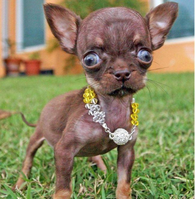 milly considerada el perro más pequeño del mundo