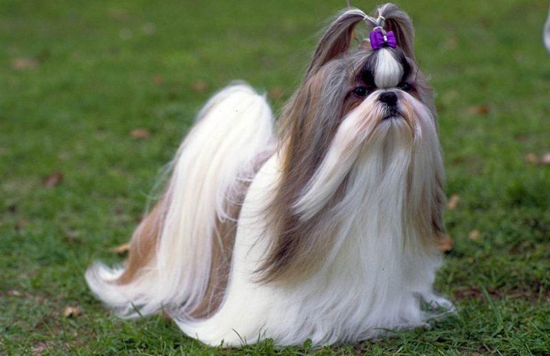 Perro de raza Shih tzu parado sobre césped