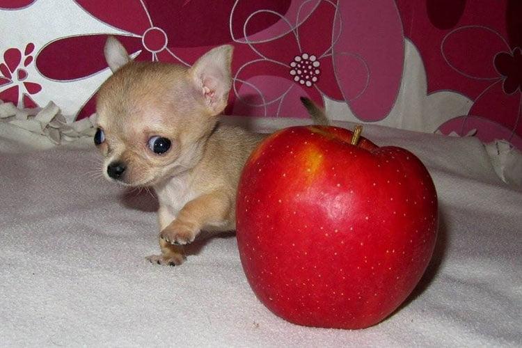 Toudi uno de los perros más pequeños del mundo