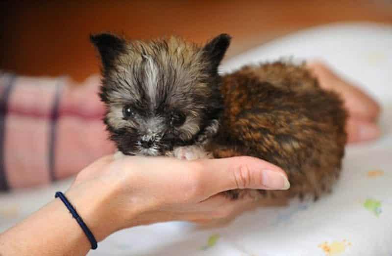 Tyson uno de los perros más pequeños del mundo