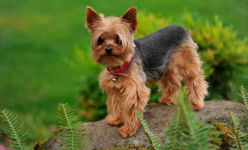 Pequeño yorkshire terrier parado sobre una roca