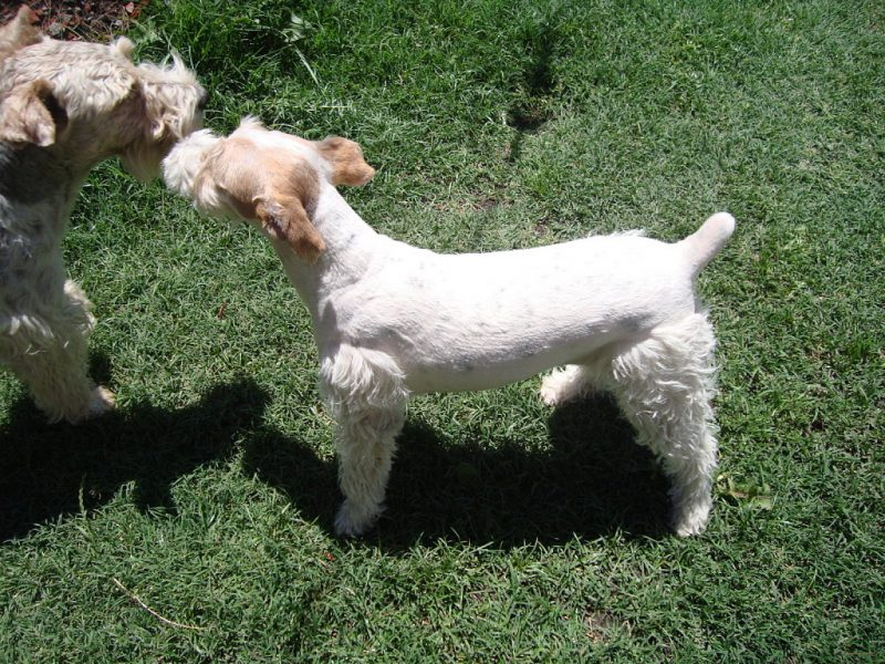 2 fox terrier de pelo duro