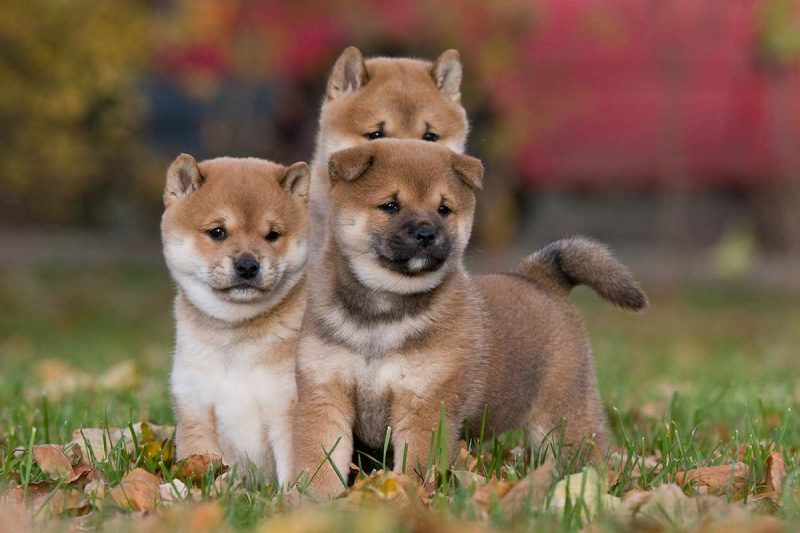 3 cachorros shiba inu jugando en el césped