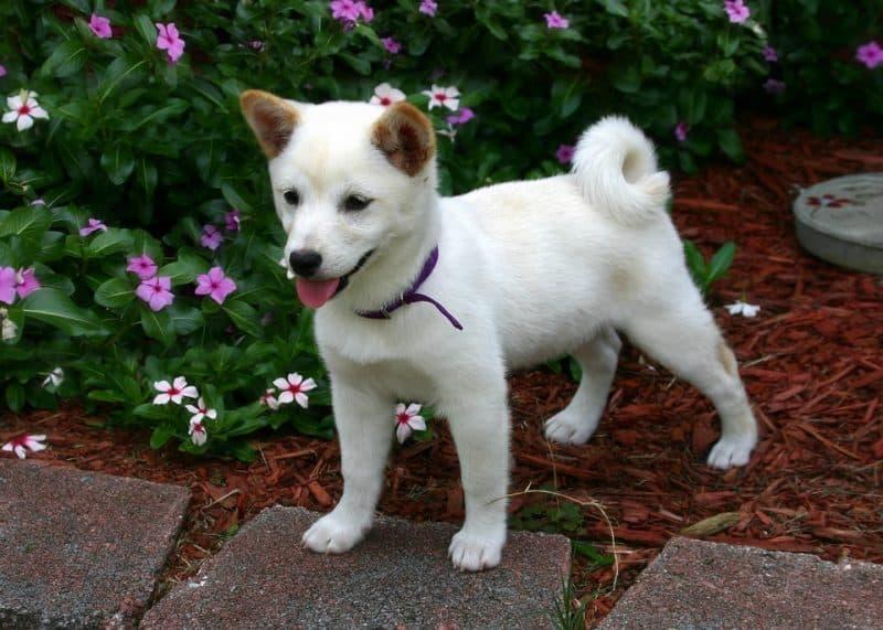 cachorro shiba inu parado en un jardín