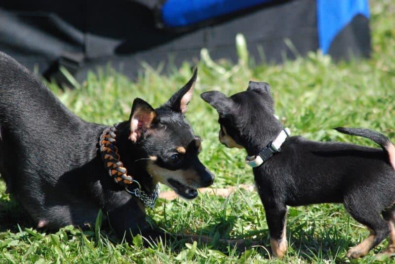 cachorro y madre ratonera de praga jugando