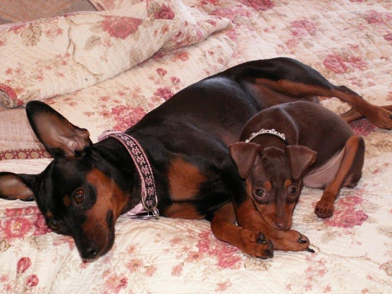 cachorro y madre ratoneros de praga descansando