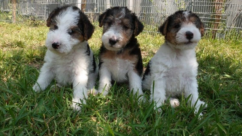 cachorros del fox terrier