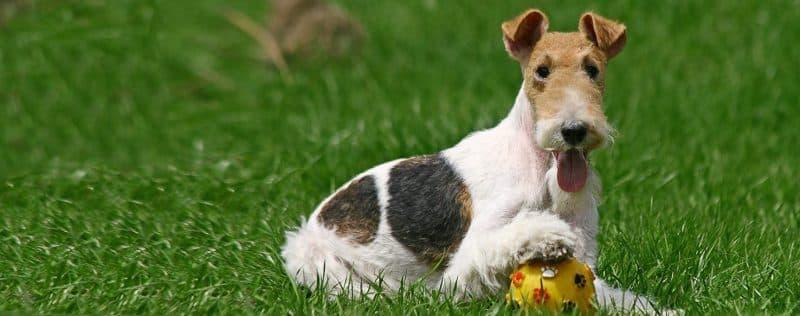 conociendo mejor el carácter de un Fox terrier