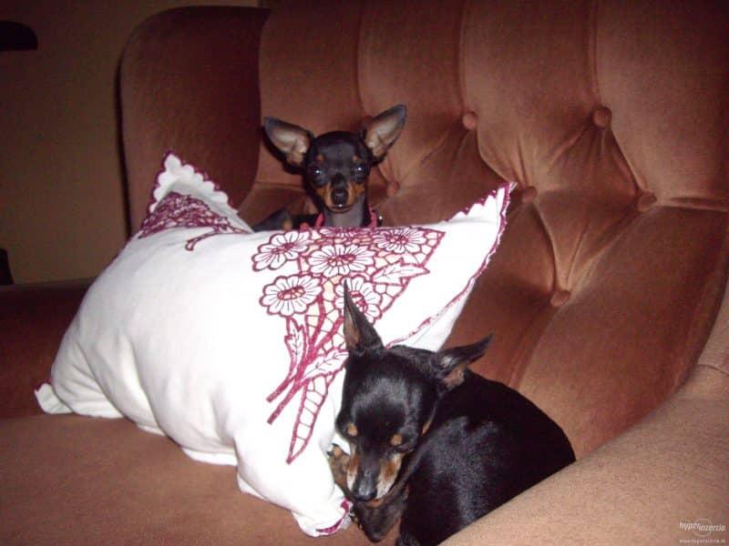 diferencias entre el ratón de praga y un chihuahua
